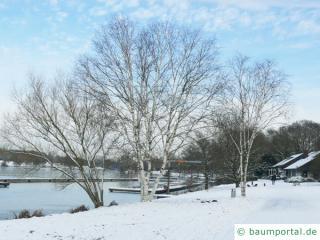 Papier-Birke (Betula papyrifera) Baum im Winter