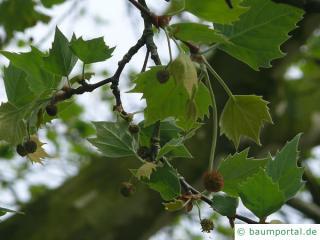 Platane (Platanus acerifolia) Blüten