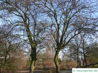 Rot-Dorn (Crataegus laevigata 'Paul's Scarlet') Baum im Winter