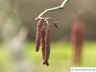 Rot-Erle (Alnus rubra) Blüten