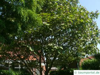 rotblättriger Catalpa (Catalpa erubescens 'Purpurea') Baum