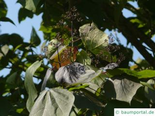 rotblättriger Catalpa (Catalpa erubescens 'Purpurea') Blätter und Blüte