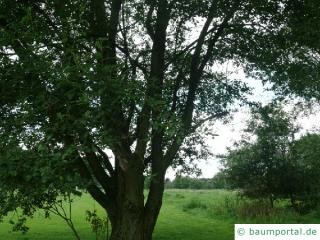 Sal-Weide (Salix caprea) Baum