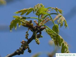 Scharlach-Eiche (Quercus coccinea) Blüte
