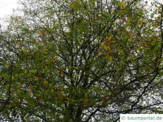 Geschlitztblättrige Buche (Fagus sylvatica 'Laciniata') Krone im Herbst