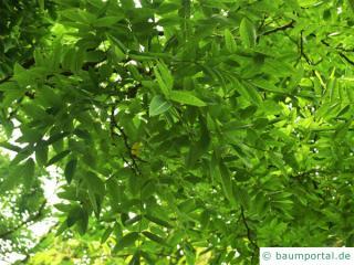 Schnurbaum (Styphnolobium japonicum) Blätter