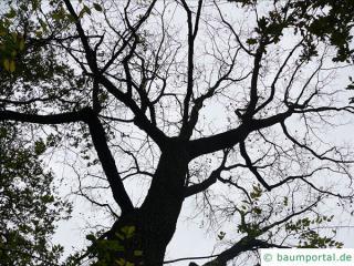 Schwarznuss (Juglans nigra) Baum im Winter