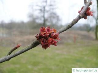 Silber-Ahorn (Acer saccharinum) rötliche kleine Blüte