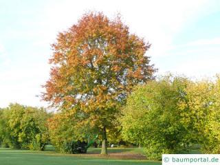 Sumpf-Eiche (Quercus palustis) Baum im Herbst