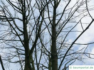 Texas-Esche (Fraxinus texensis) Krone im Winter