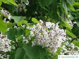 Trompetenbaum (Catalpa bignonioides) Blüte