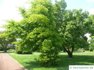 Tupelobaum (Nyssa sylvestris) Baum im Winter