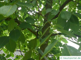 Walnuss (Juglans regia) Baum