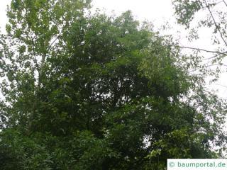 Weiden-Eiche (Quercus phellos) Baum im Sommer