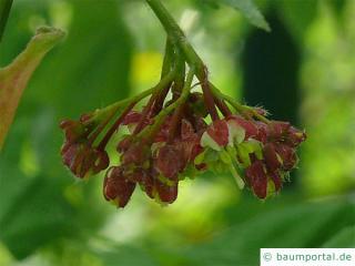 Wein-Ahorn (Acer circinatum) Blüte