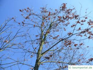 Weiß-Eiche (Quercus alba) Krone im Winter