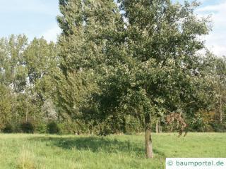 Zerr-Eiche (Quercus cerris) Baum