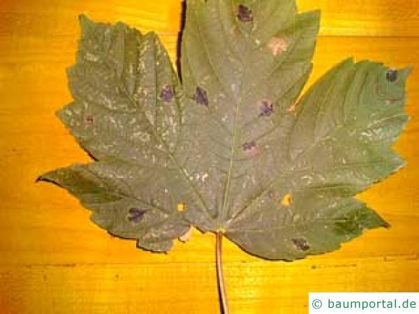 Bild: schwarze Flecken (Teerflecken) auf einem Bergahornblatt