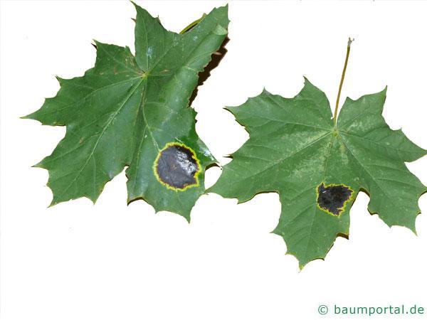 Bild:Spitzahornblätter mit Rhytisma acerinum-Befall