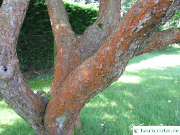Grünalge am Obstbaum