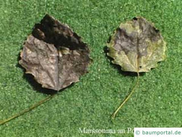 Blattnekrosen Pappel
