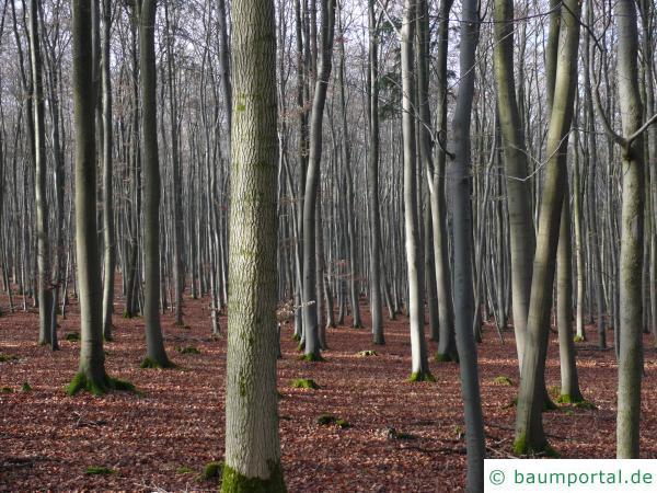 Buche (Fagus sylvatica) Buchenwald