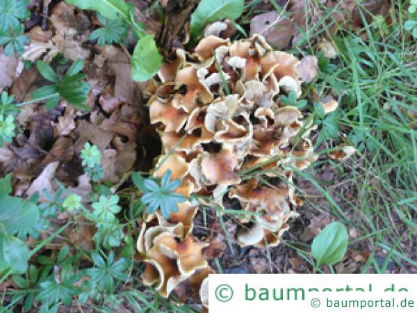 Klapperschwamm (Grifola frondosa) Pilz