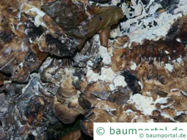Klapperschwamm (Grifola frondosa) alt
