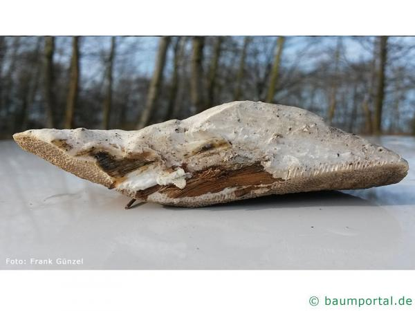 Anis-Tramete (Trametes suaveolens)