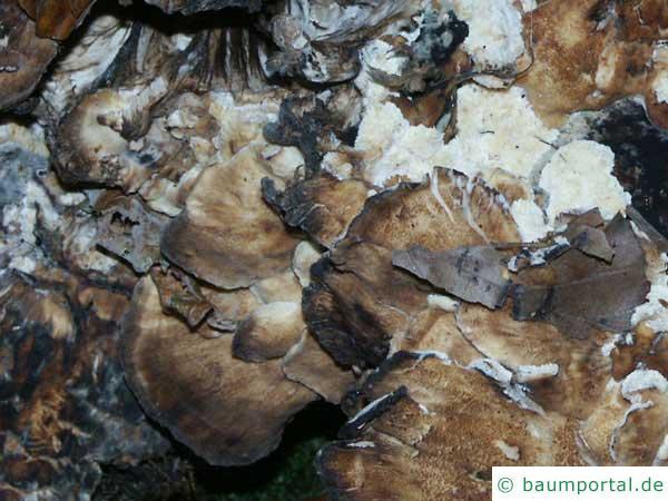 Klapperschwamm (Grifola frondosa)