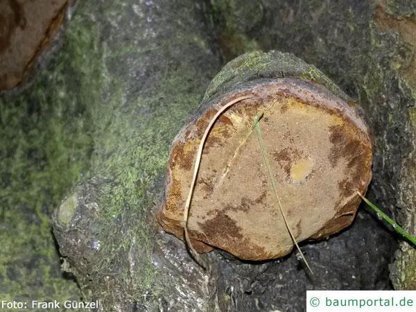 Pflaumen-Feuerschwamm Fruchtkörper Unterseite