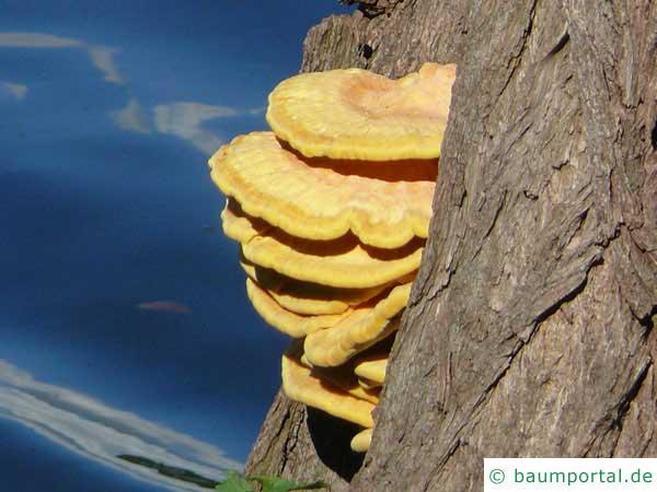Schwefelporling (Laetiporus sulphureus) Fruchtkörper