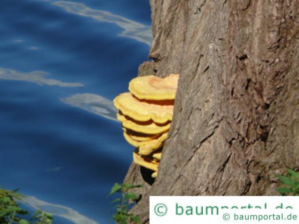 Schwefelporling (Laetiporus sulphureus) Pilz an der Weide