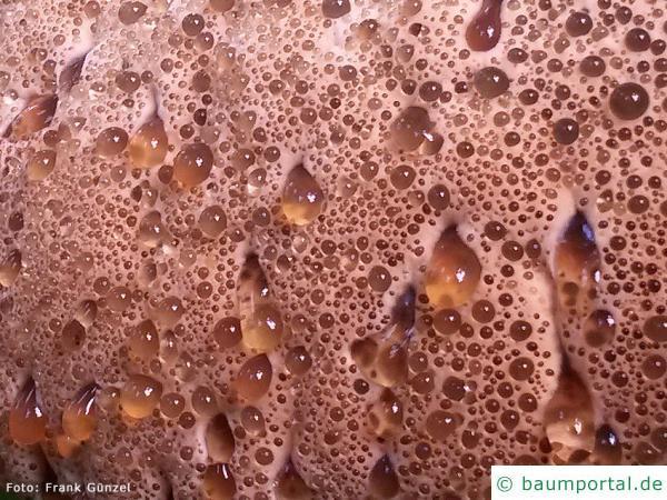 Tropfender Schillerporling (Inonotus dryadeus) Auschnitt