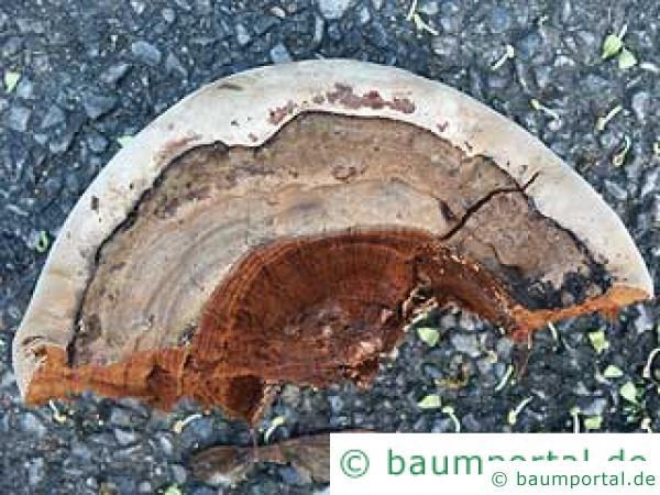 Wulstiger Lackporling Unterseite des Pilzes