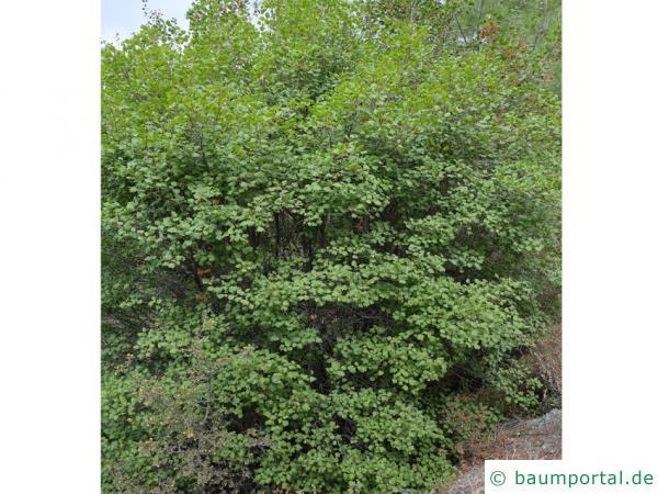 Syrischer Ahorn (Acer obtusifolium) Baum