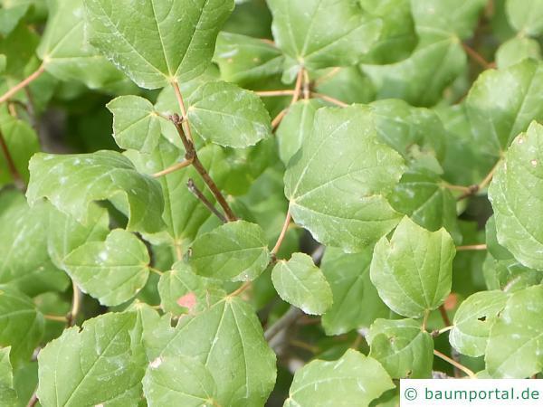 Syrischer Ahorn (Acer obtusifolium) Blätter