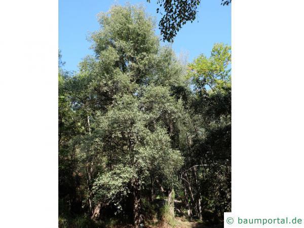 orientalische Erle (Alnus orientalis) Baum
