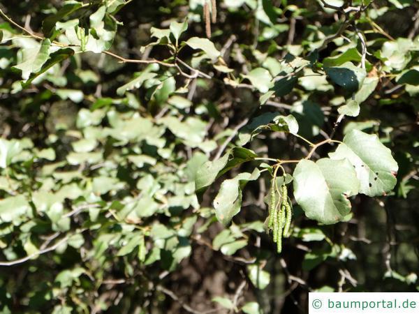 orientalische Erle (Alnus orientalis) Blätter