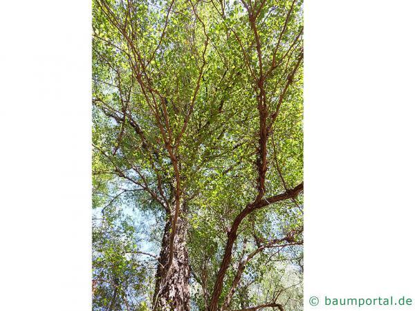 orientalische Erle (Alnus orientalis) Krone