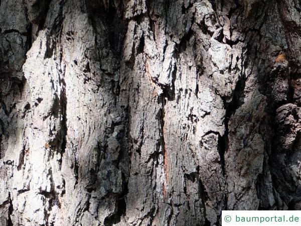 orientalische Erle (Alnus orientalis) Stamm