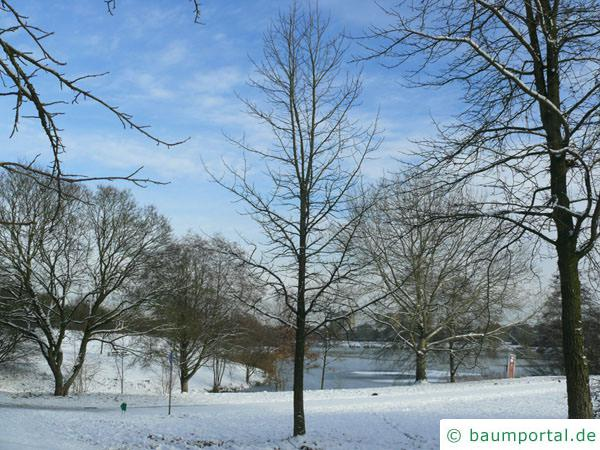 Amberbaum (Liquidambar styraciflua) Baum im Winter