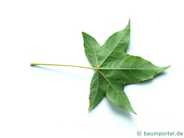 Amberbaum Liquidambar styraciflua Blattrückseite