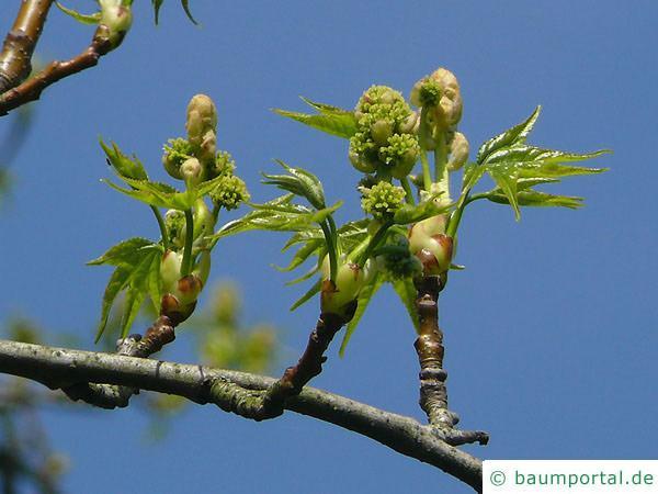 Amberbaum (Liquidambar styraciflua) Blüte