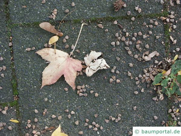 Amberbaum (Liquidambar styraciflua) Endknospe