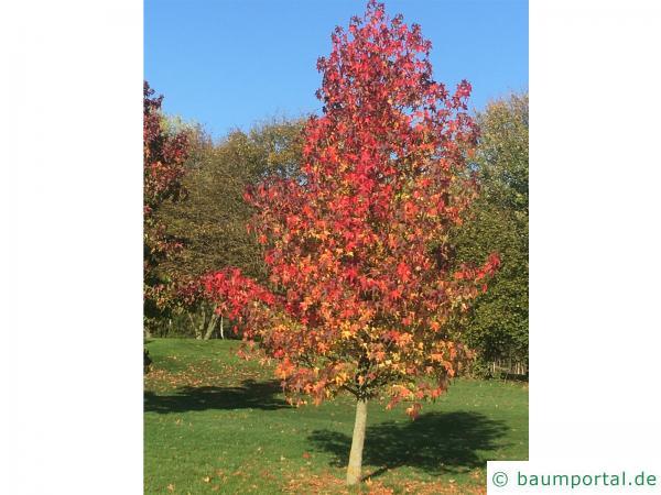 Amberbaum (Liquidambar styraciflua) Baum im Herbst