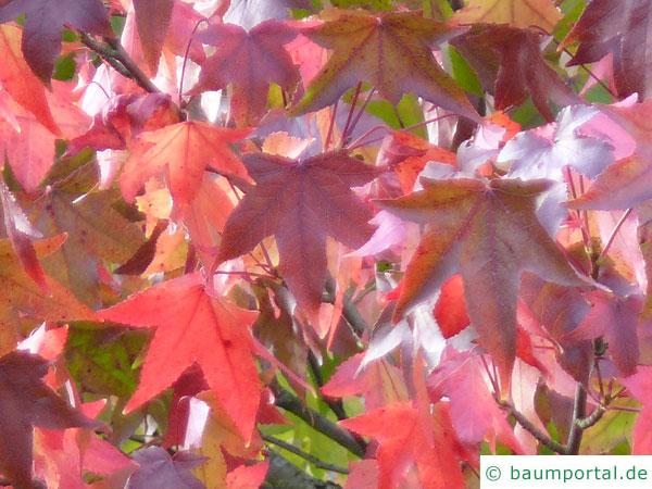 Amberbaum (Liquidambar styraciflua) Herbstfärbung