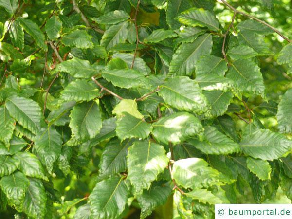 amerikanische Buche (Fagus grandiflora) Blätter