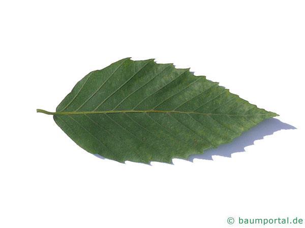 amerikanische Buche (Fagus grandiflora) Blatt Unterseite