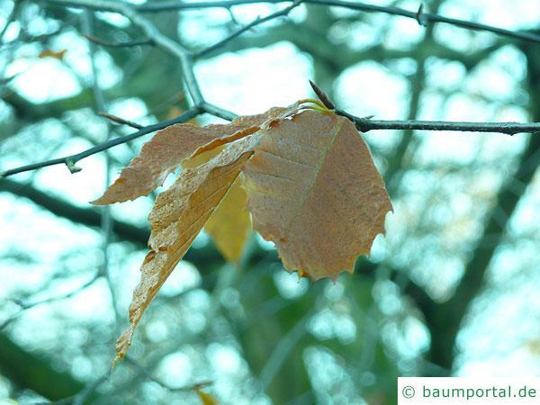 amerikanische Buche (Fagus grandiflora) gold-braune Herbstfärbung